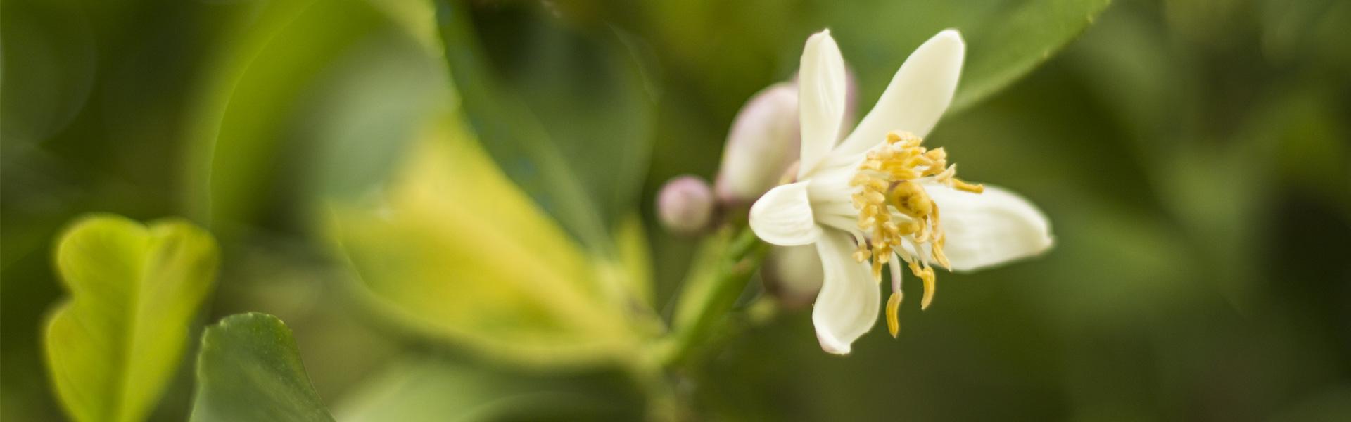 fiore-sabino-limone